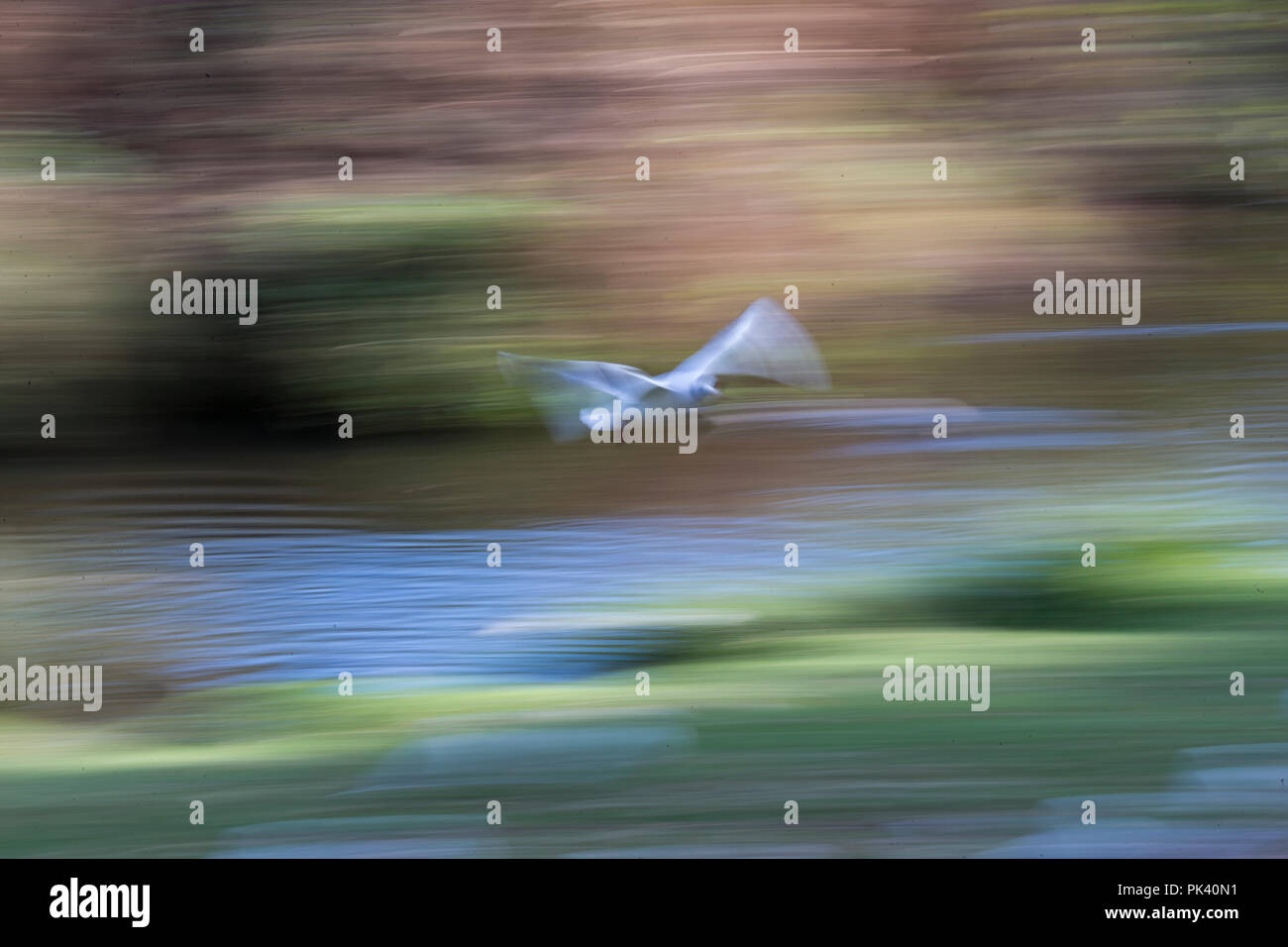 Black headed gull Larus ridibundus in flight with artistic motion blur - Stock Image
