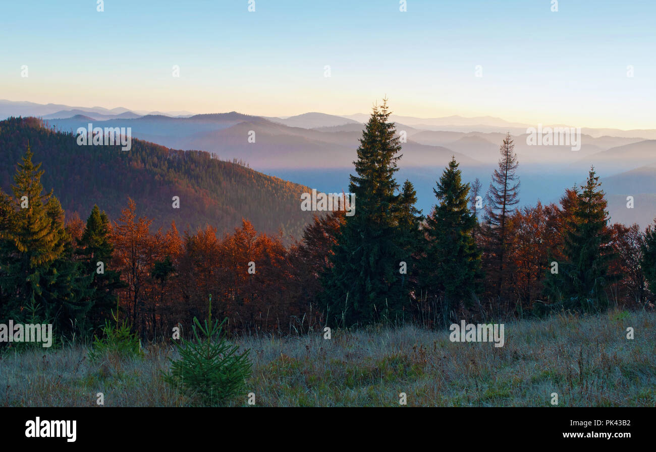 Several young spruces, pines, orange deciduous trees against smoky mountain range covered in purple grey mist under warm light cloudless sky on a warm - Stock Image