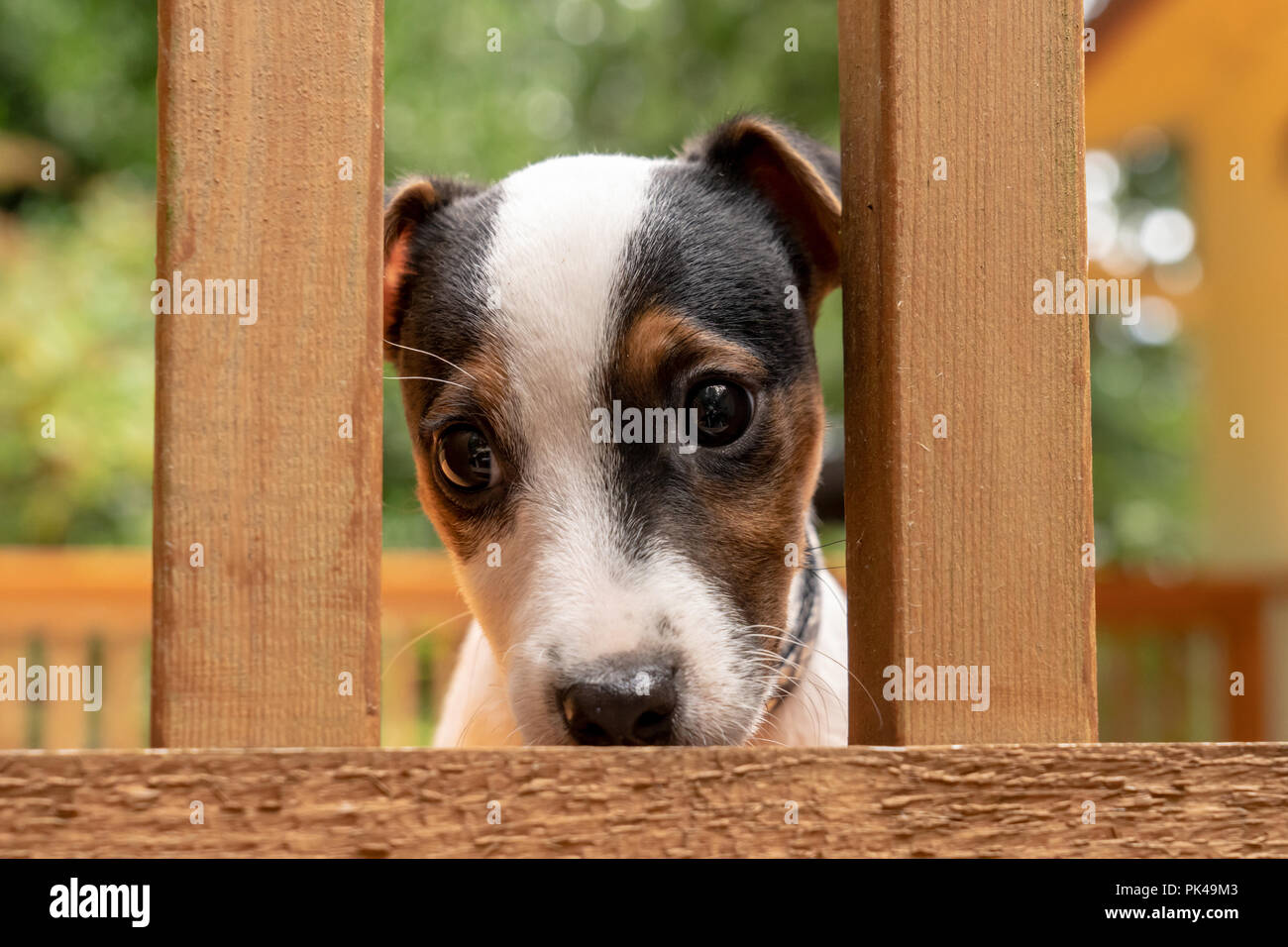 Two month old Jack Russell Terrier 'Harry' looking through the railing of a wooden deck. - Stock Image