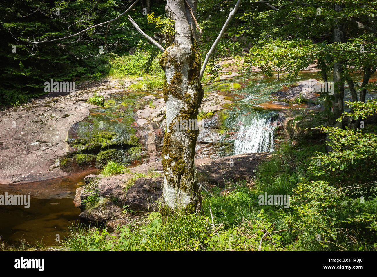 Beautiful, colorful mountain creek cascading through the thick forest and a foreground tree with moss on Old mountain Stock Photo
