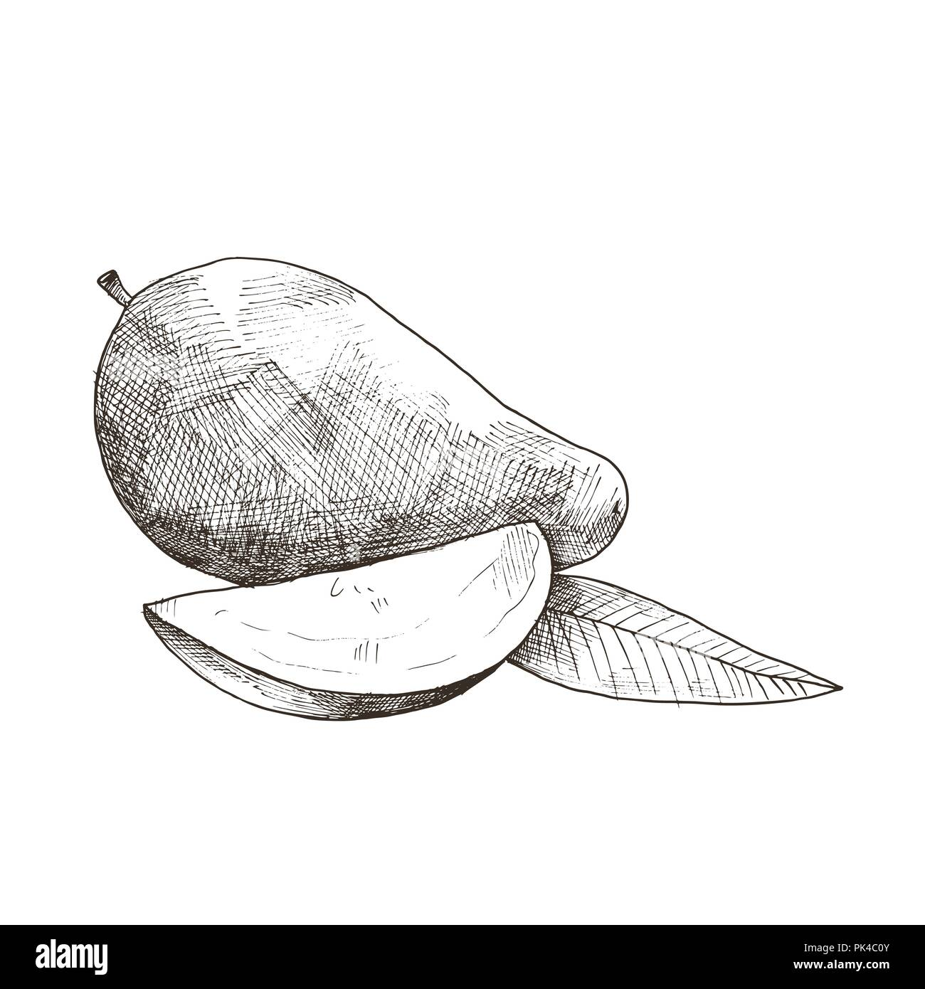 Hand drawn mango isolated on white background tropical fruit sketch vector illustration
