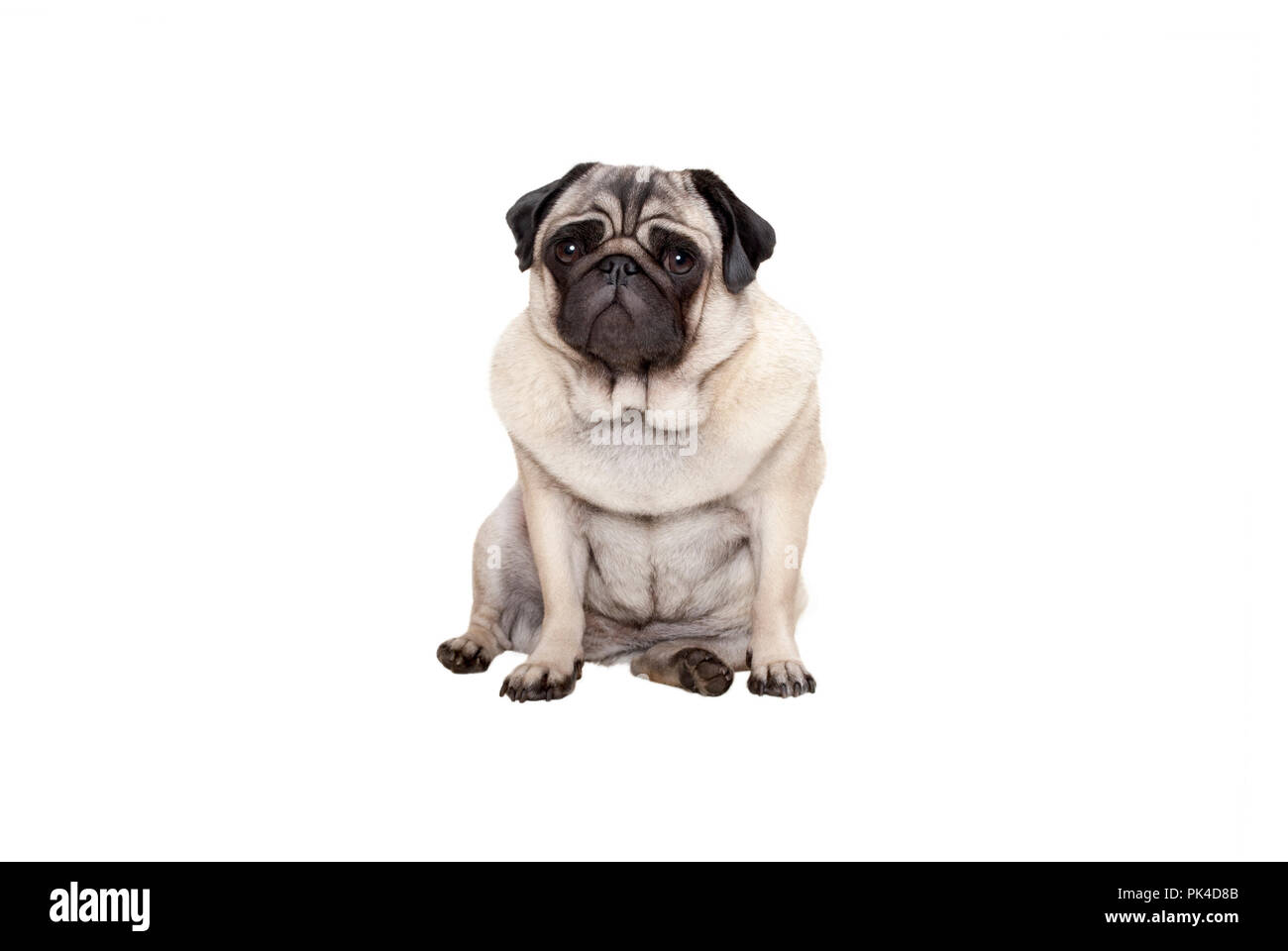 beautiful pug puppy dog sitting down with sweet face, isolated on white background - Stock Image