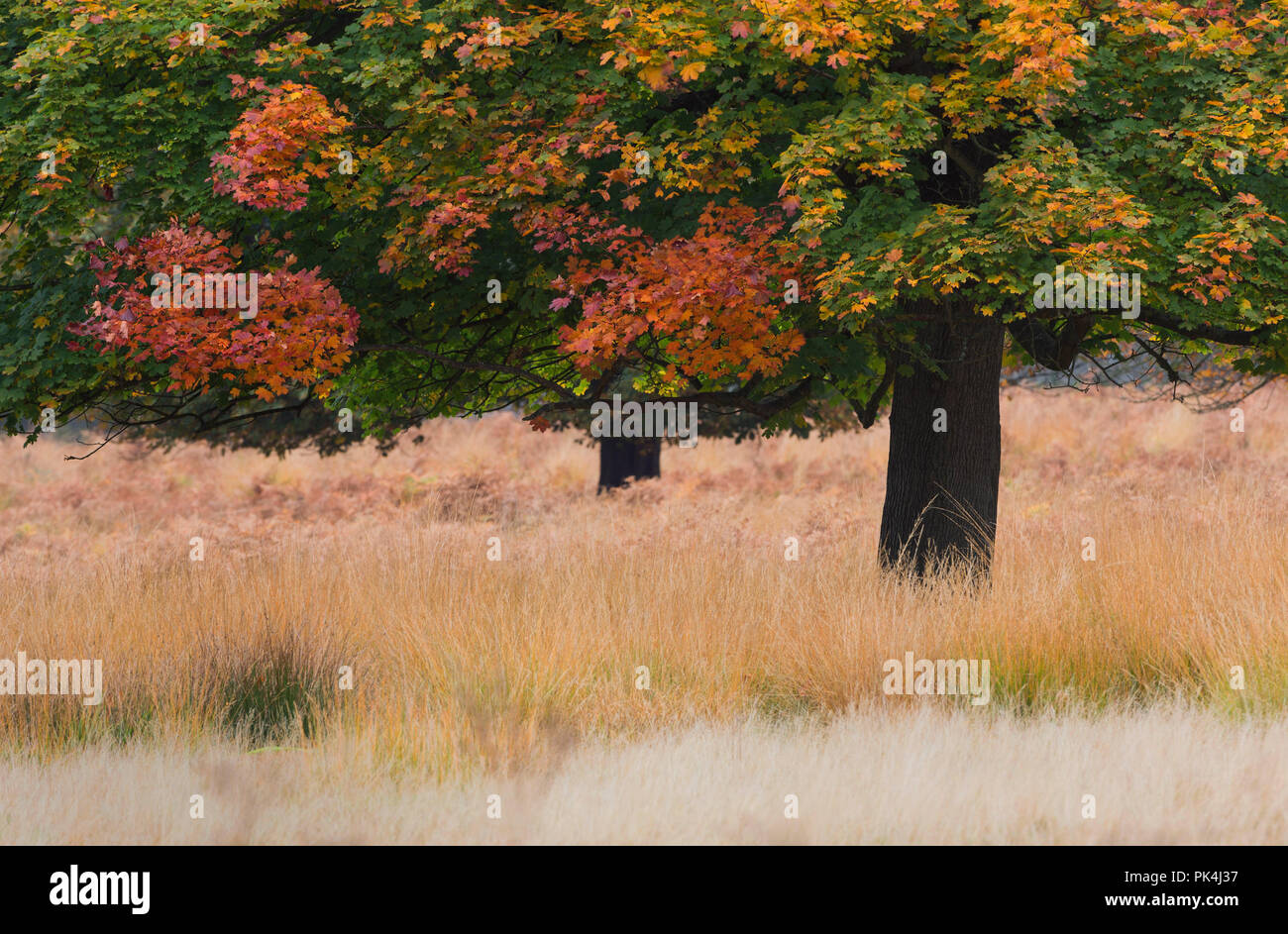 Autumn Trees Landscape Richmond Park UK Stock Photo