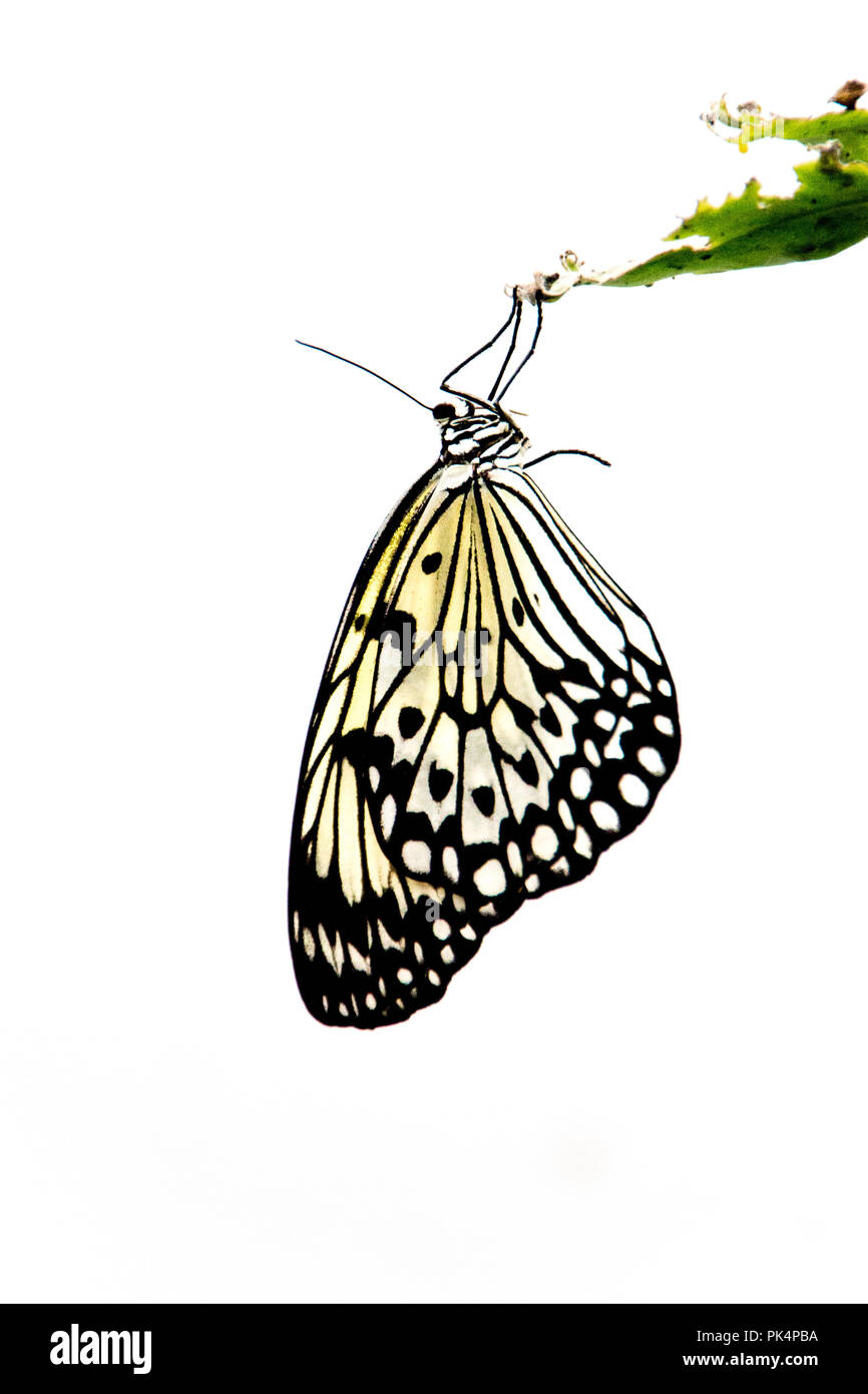 Butterfly hanging from a leaf - Stock Image