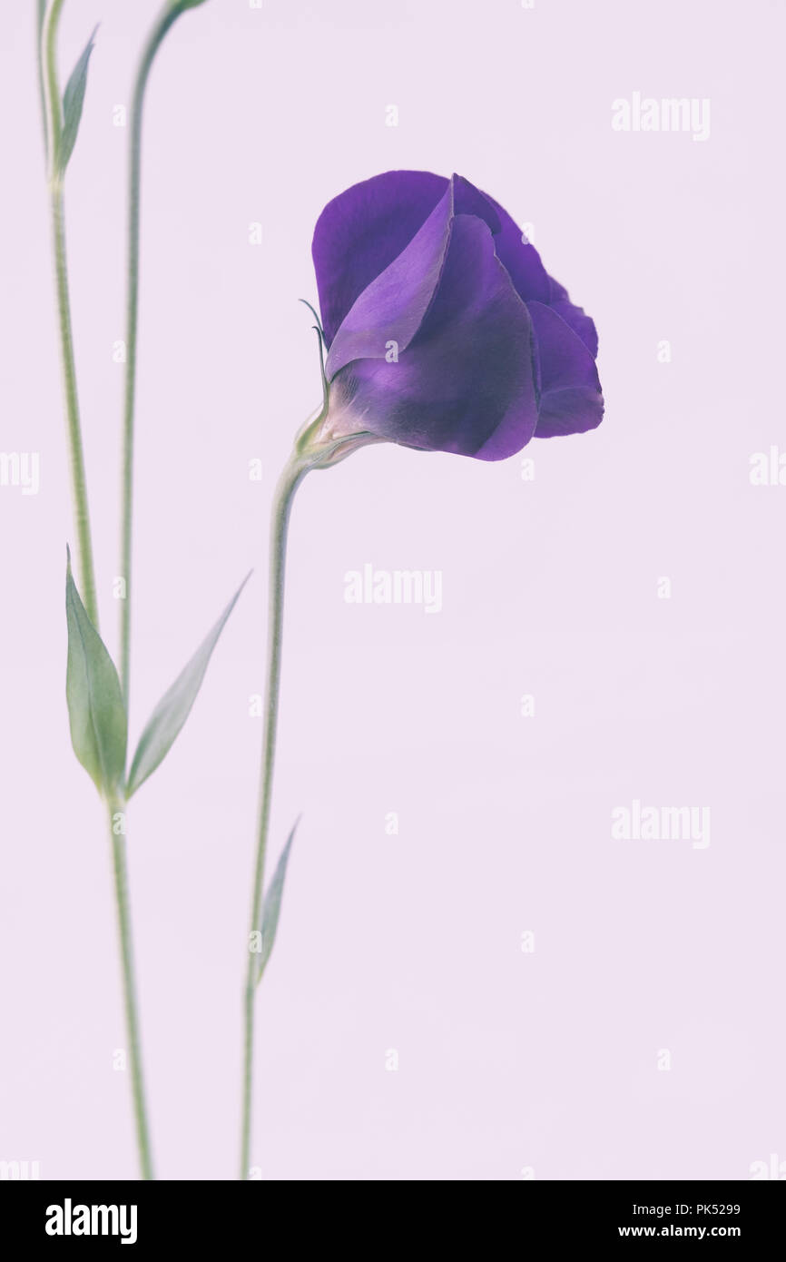 Purple Lisianthus Flower - Stock Image