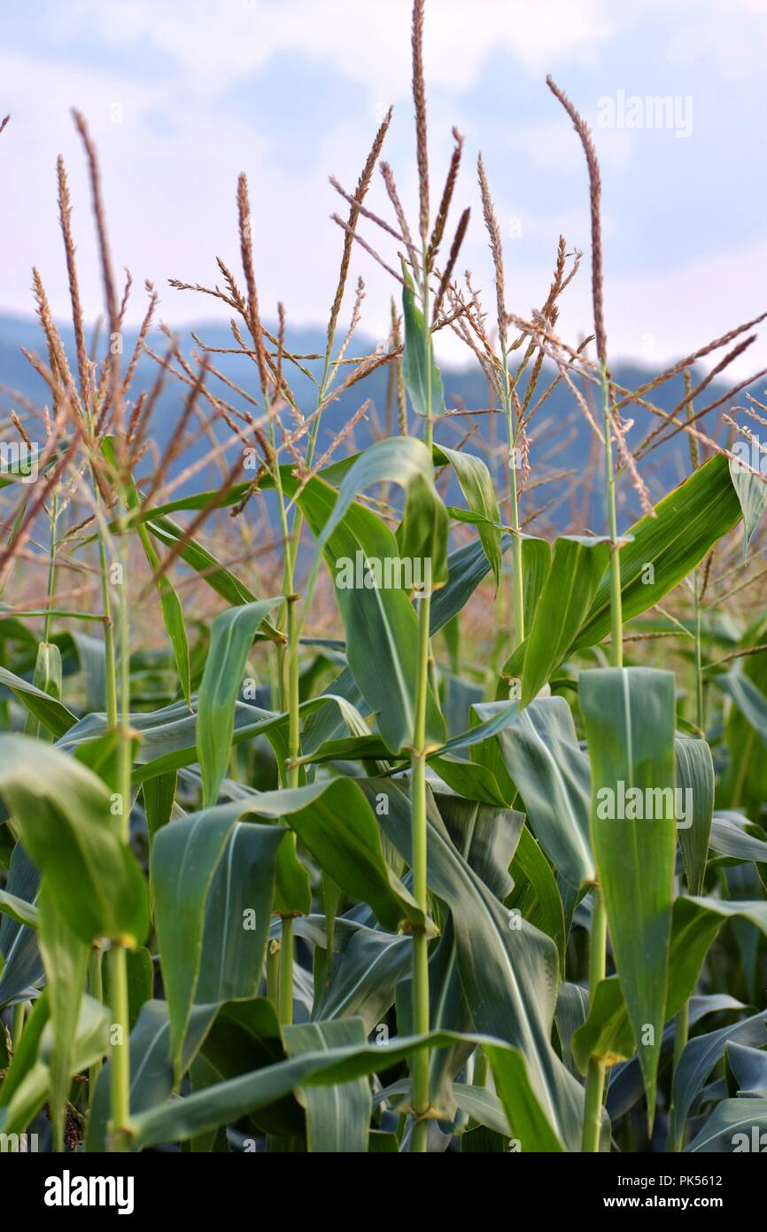 Close up image of corn plant with sky in the background - Stock Image