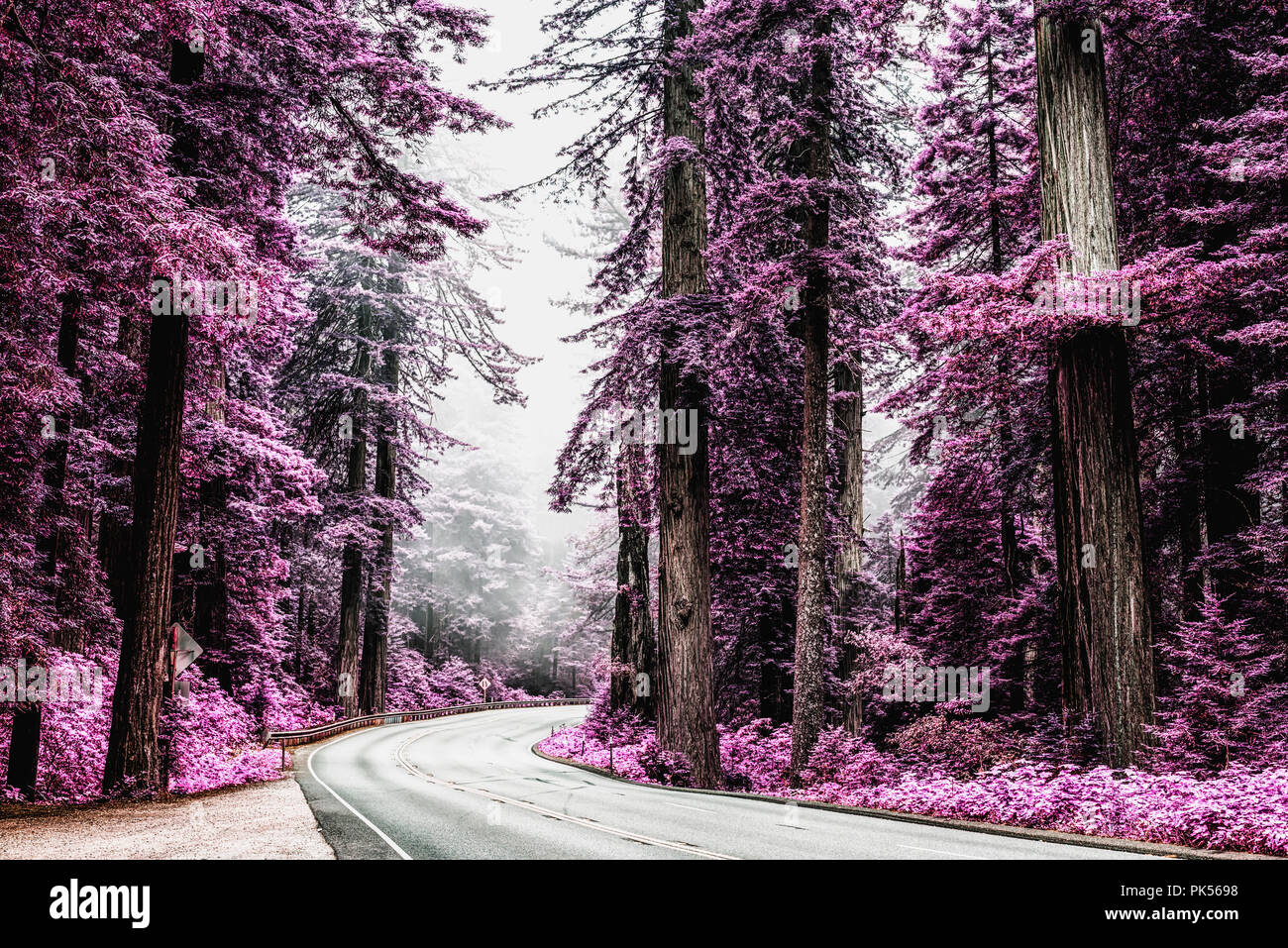 U.S. Route (Highway) 101 running through the Redwood National and State Parks in Northern California, USA. Processed with an infrared effect. Stock Photo