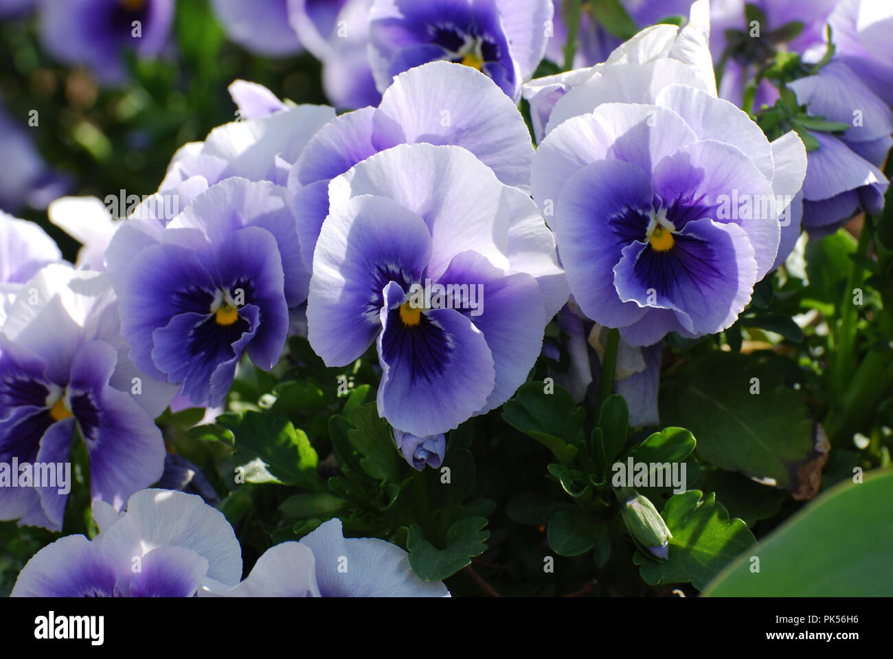 Purple And White Pansies Flowering In Late Spring Stock Photo