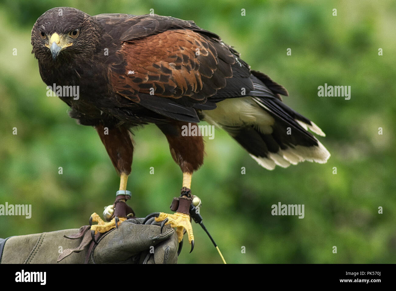 A closeup of a Harris's hawk as displayed at a falconry exhibition - Stock Image
