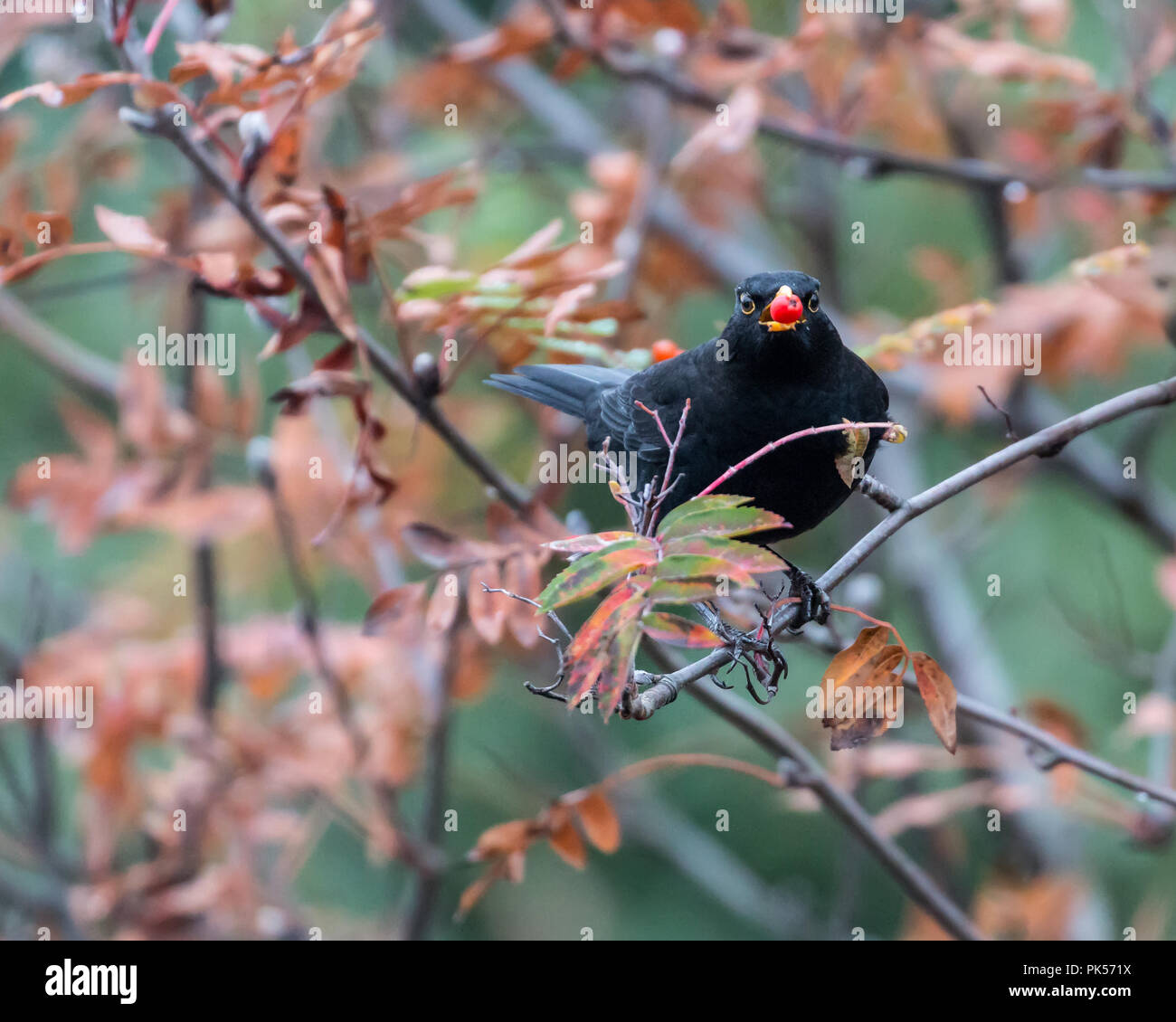 Adult male blackbird perched on a tree with a red berry in his beak - Stock Image