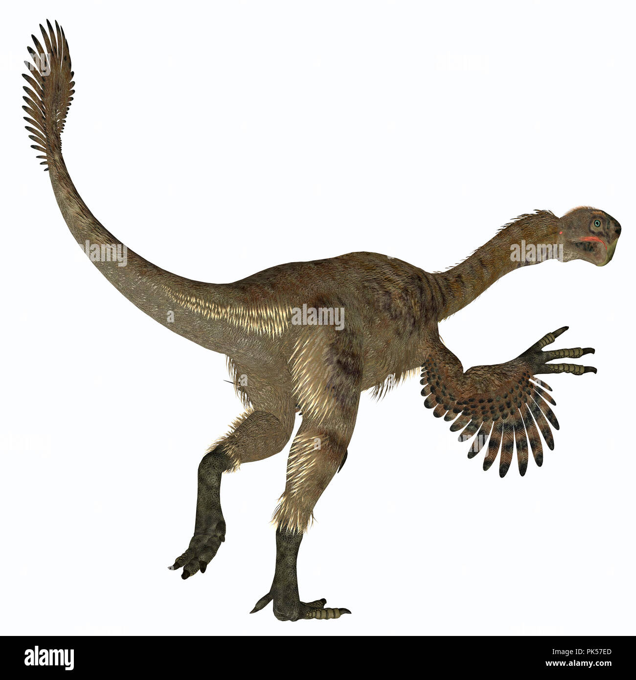 Citipati Female Dinosaur Tail - Citipati was a carnivorous Velociraptor dinosaur that lived in Mongolia during the Cretaceous Period. - Stock Image