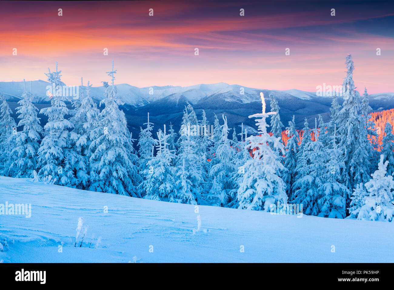 Colorful winter scene in the Carpathian mountains. Fir trees covered fresh snow at frosty morning glowing first sunlight. Stock Photo