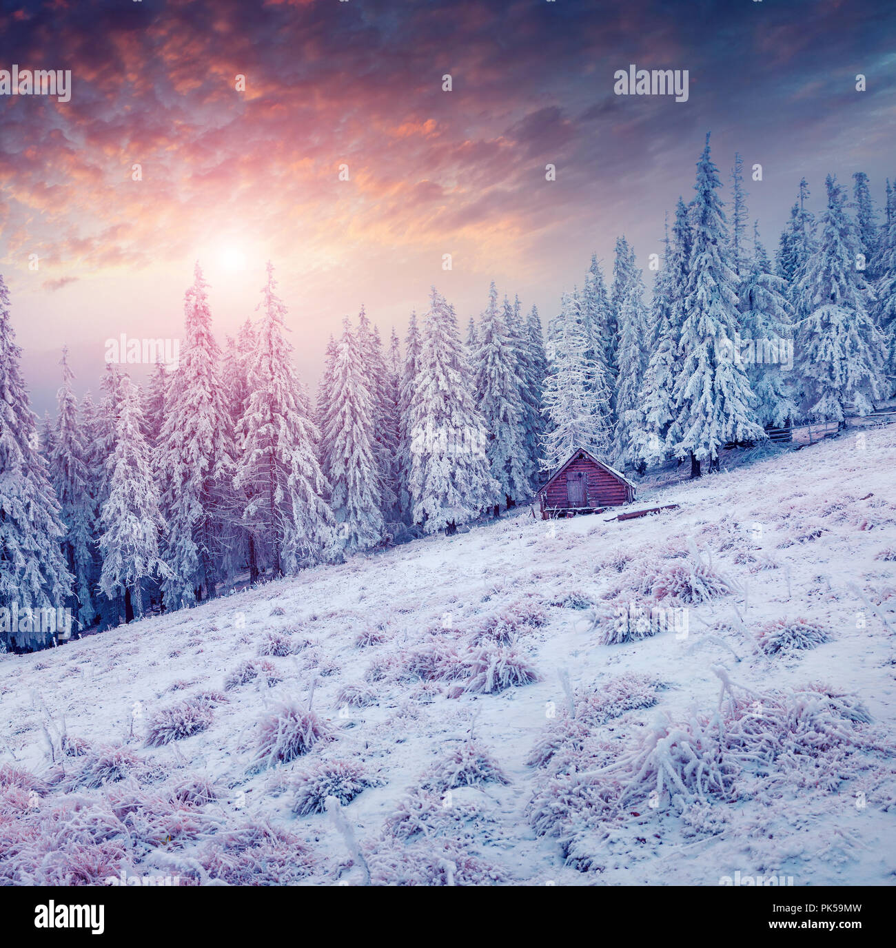 Colorful winter scene in the Carpathian mountains. Fir trees covered fresh snow at sunrise. Stock Photo
