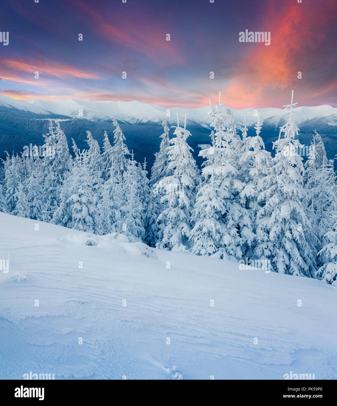 Colorful winter scene in the Carpathian mountains. Fir trees covered fresh snow at frosty morning. Stock Photo