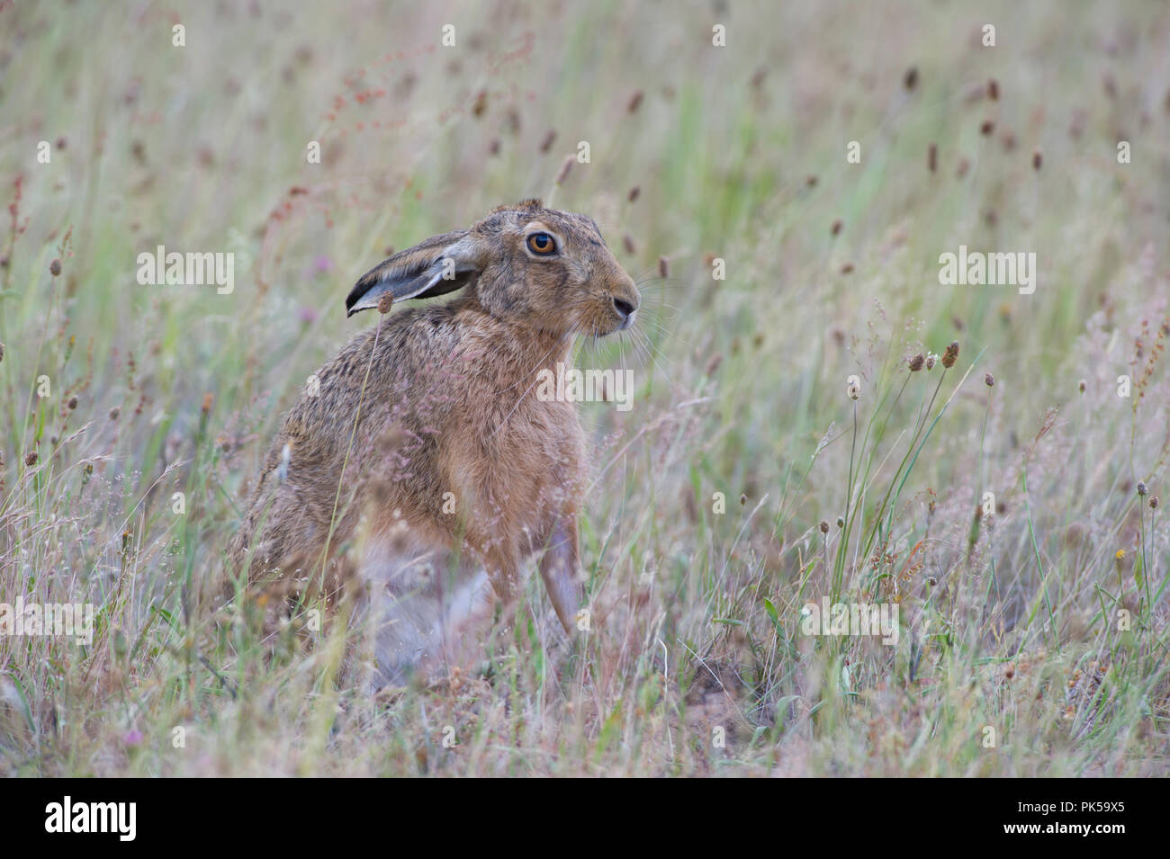 Brown Hare(Lepus europaeus) sat in grassland on a North Norfolk Farm. - Stock Image
