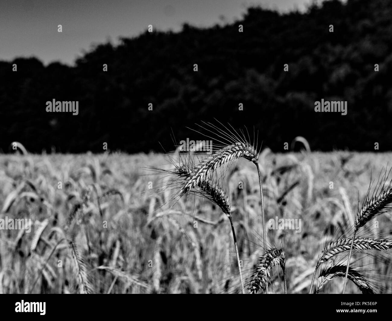 Wheat field black and white - Stock Image