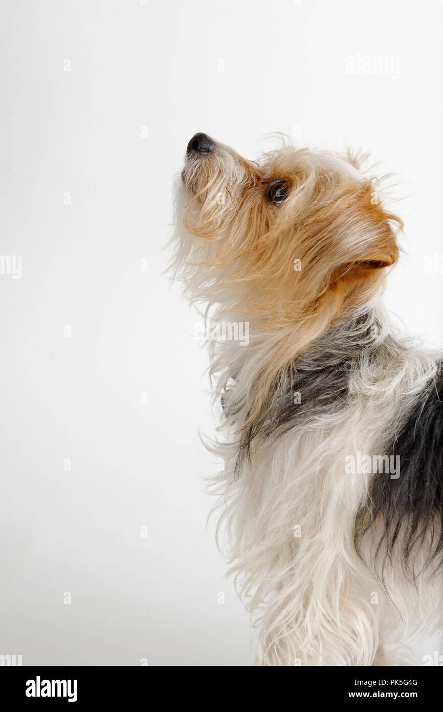 Cute small terrier dog looking up expecting something in side view, begging, pleading, studio shot on white background. - Stock Image