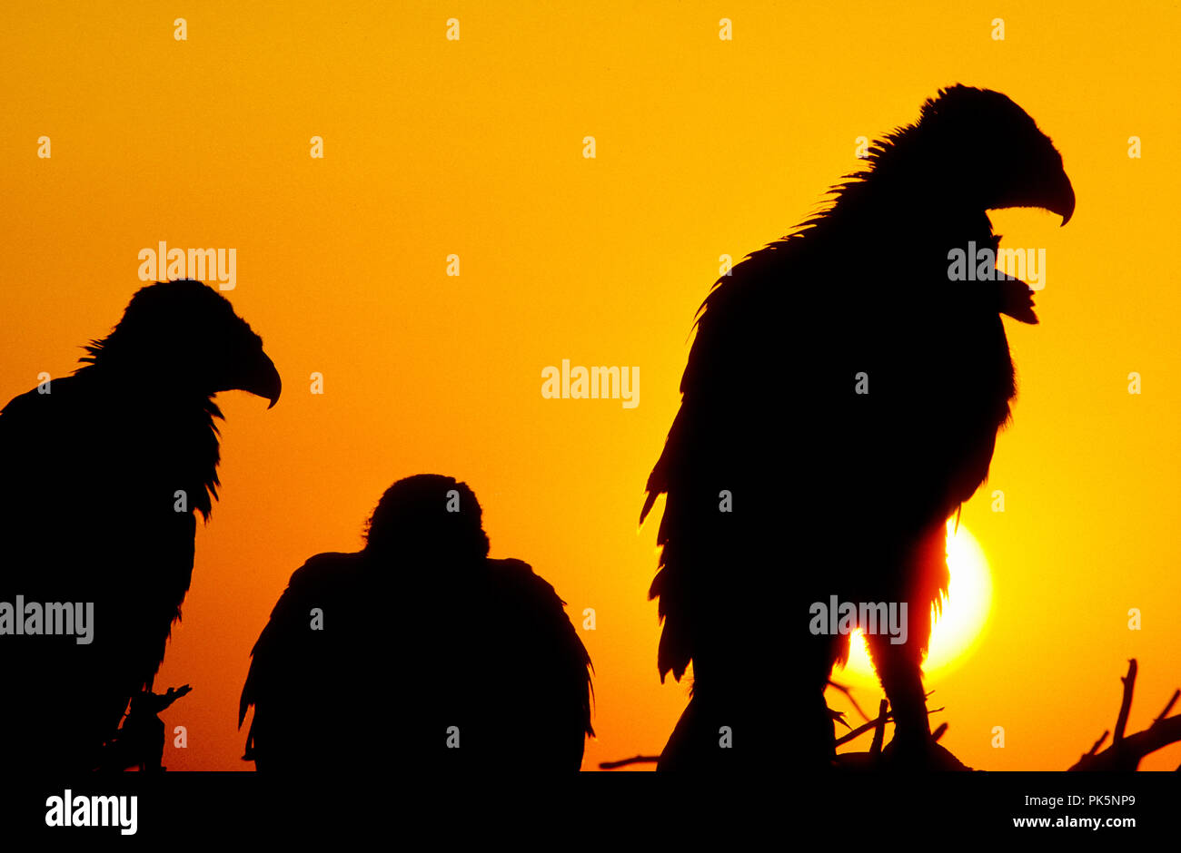 Juvenile ferruginous hawks (Buteo regalis) in nest at sunset in the Morley Nelson Snake River Birds of Prey National Conservation Area, Idaho - Stock Image
