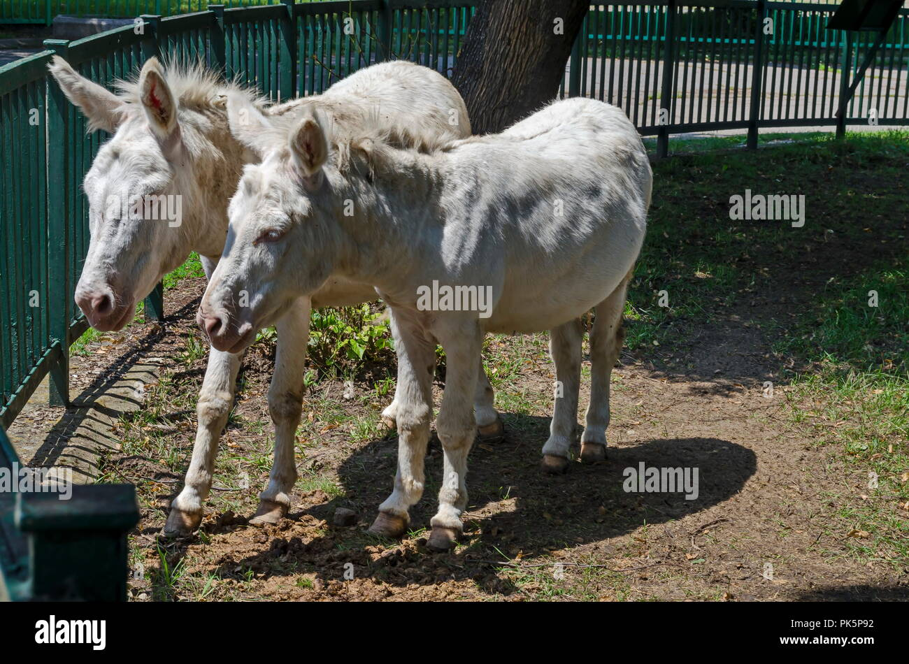 Two white donkeys walk outdoor in the summer park, Sofia, Bulgaria Stock Photo