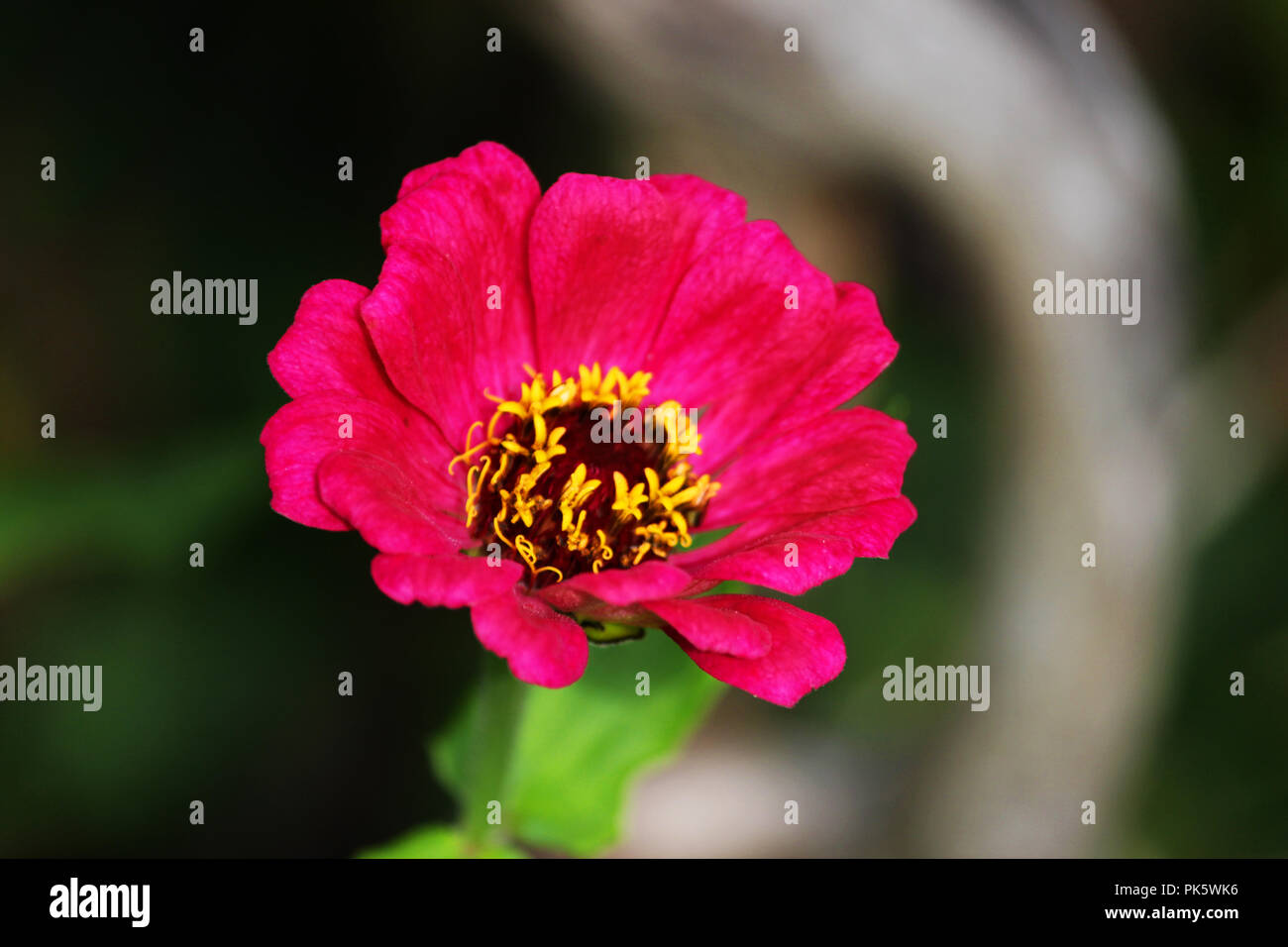 One Pink Flower Of Zinnia Floral Background Common Zinnia Zinnia