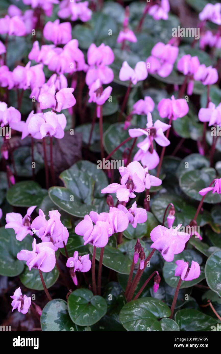 Bed of winter flowering pink flowers of the herbaceous perennial bed of winter flowering pink flowers of the herbaceous perennial cyclamen coum mightylinksfo