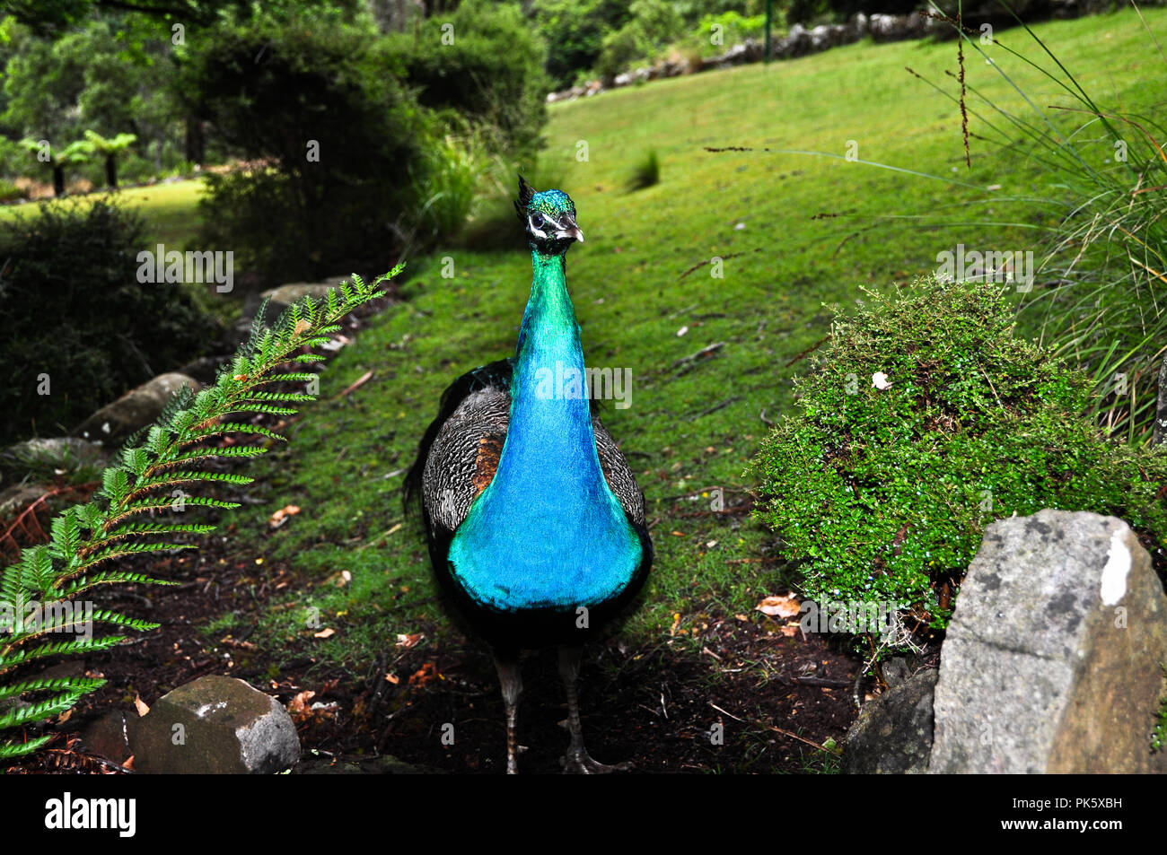 Close up of a male peacock with vibrant blue and green feathers Stock Photo