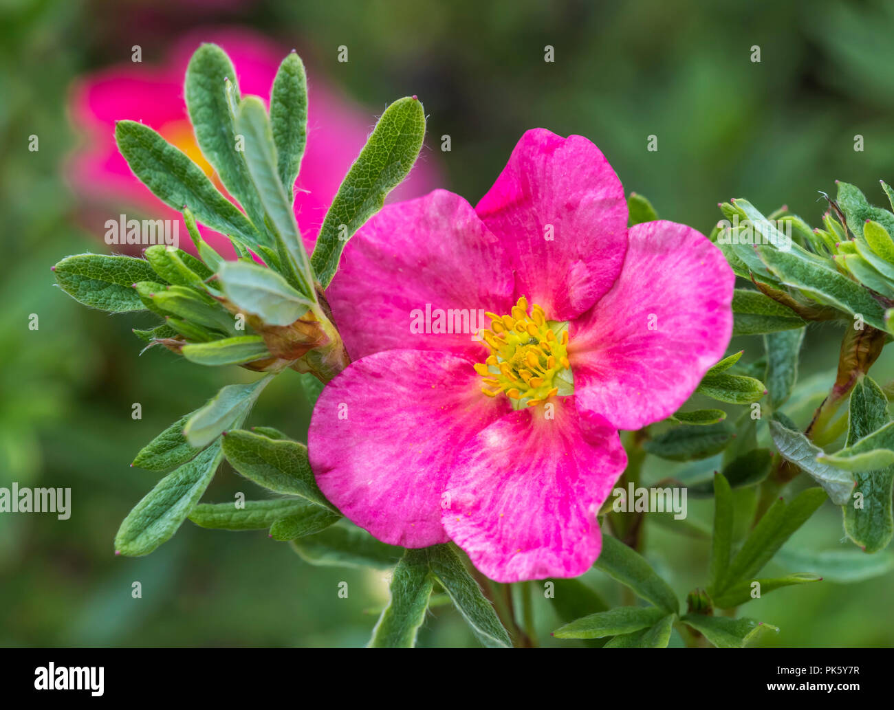 Single flower of the Potentilla Fruticosa 'Bellissima' (common name: Cinquefoil), a deep pink hardy shrub, in early Autumn in West Sussex, England, UK - Stock Image
