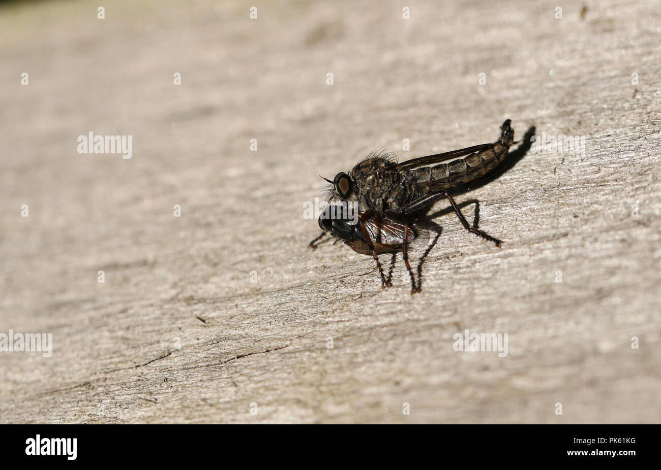 A Common Awl Robberfly (Neoitamus cyanurus) feeding on its prey another fly. - Stock Image
