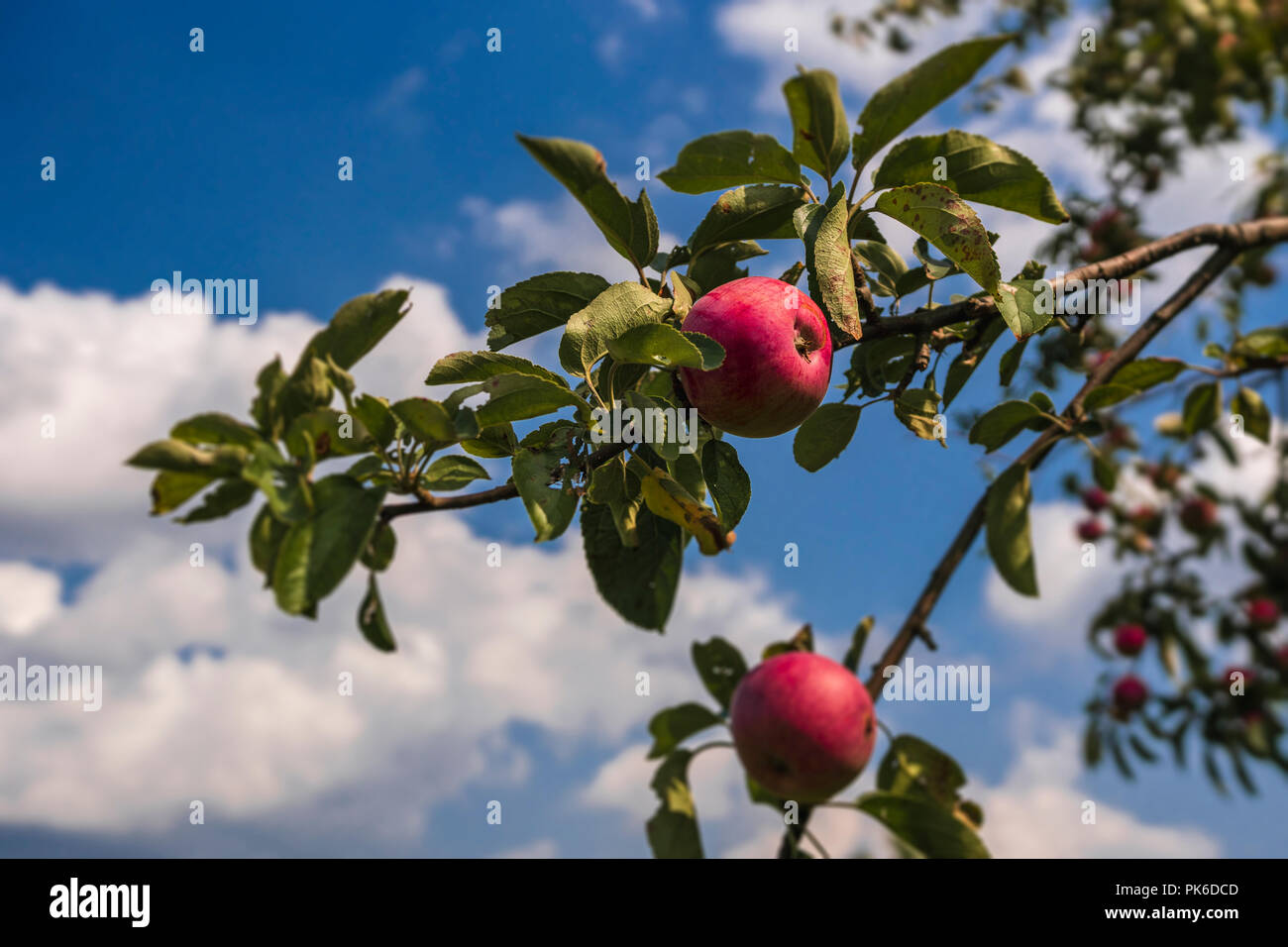 Apples on a tree branch. - Stock Image