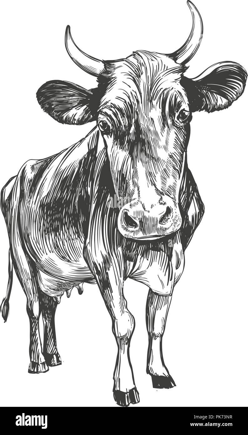 cow - domestic animal, farm hand drawn vector illustration