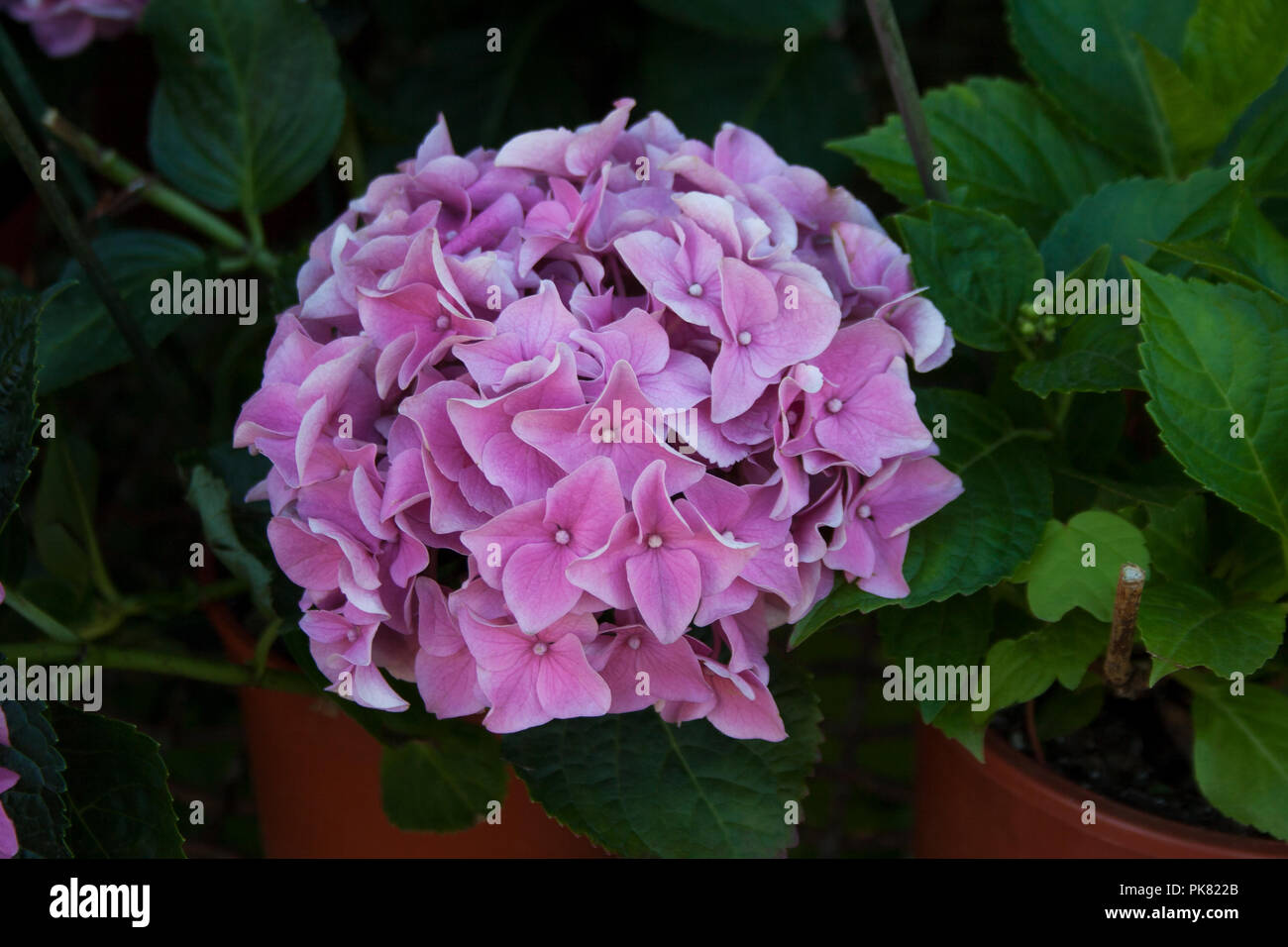 A Beautiful Potted Plant That Is Blooming Pink Flowers Stock Photos