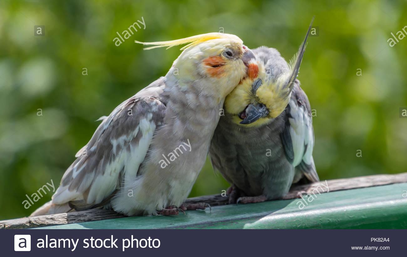 Pair of Cockatiel's Preening - Stock Image