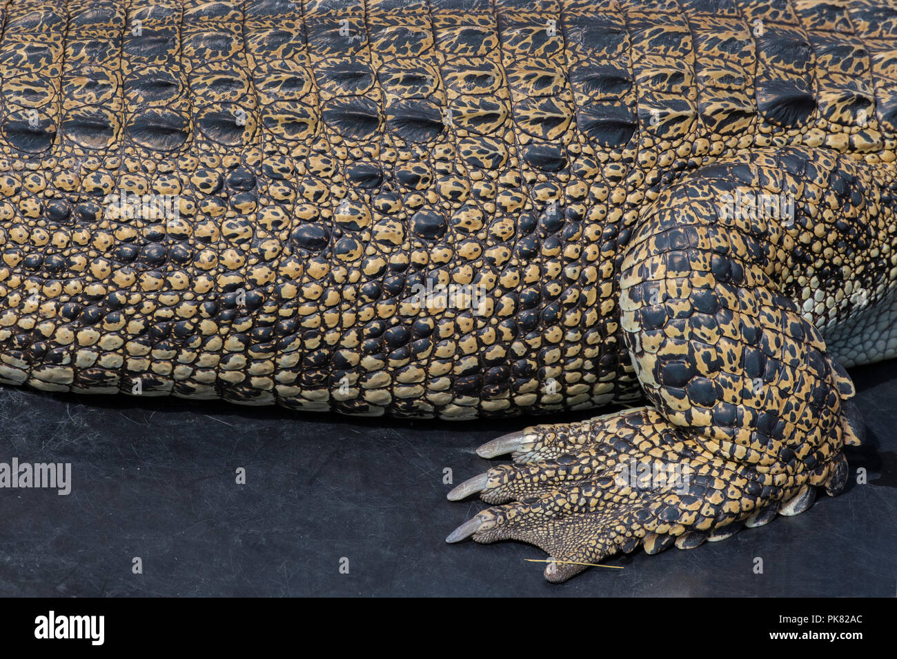 Australia, Northern Territory. Saltwater crocodile aka Saltie (Crocodylus porosus) body and foot detail. - Stock Image