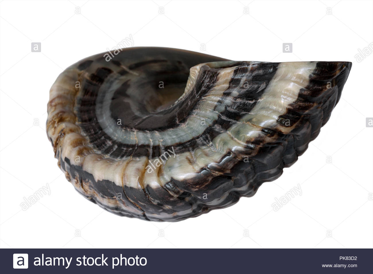Shofar; a ram's horn trumpet used by the Hebrew people in Israel throughout the Bible - Genuine Ram's Horn not a deer's horn - solid white background - Stock Image