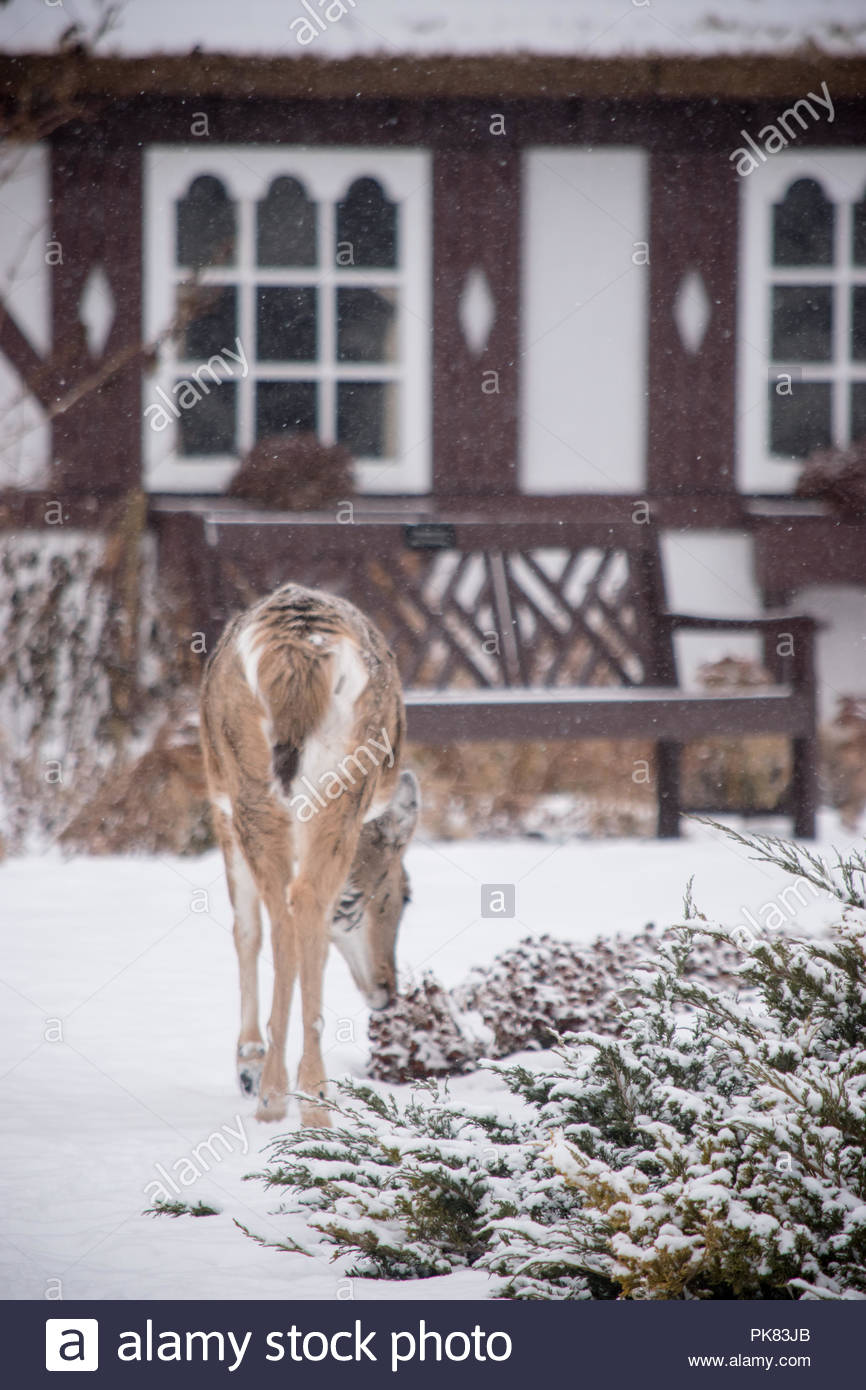 A deer near a cabin in the woods. Stock Photo