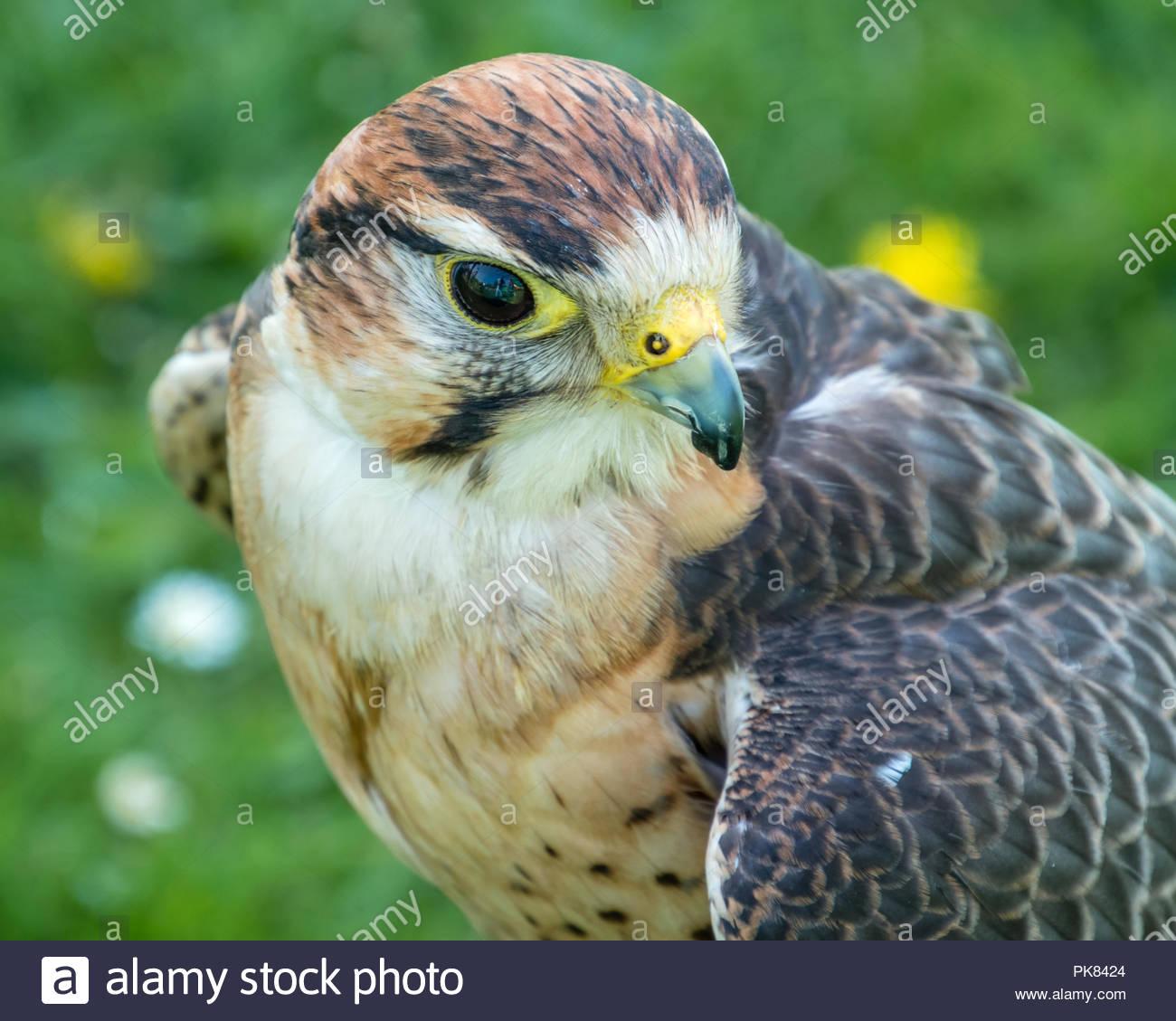 Kestrel  Falco Tinnunculus - Stock Image