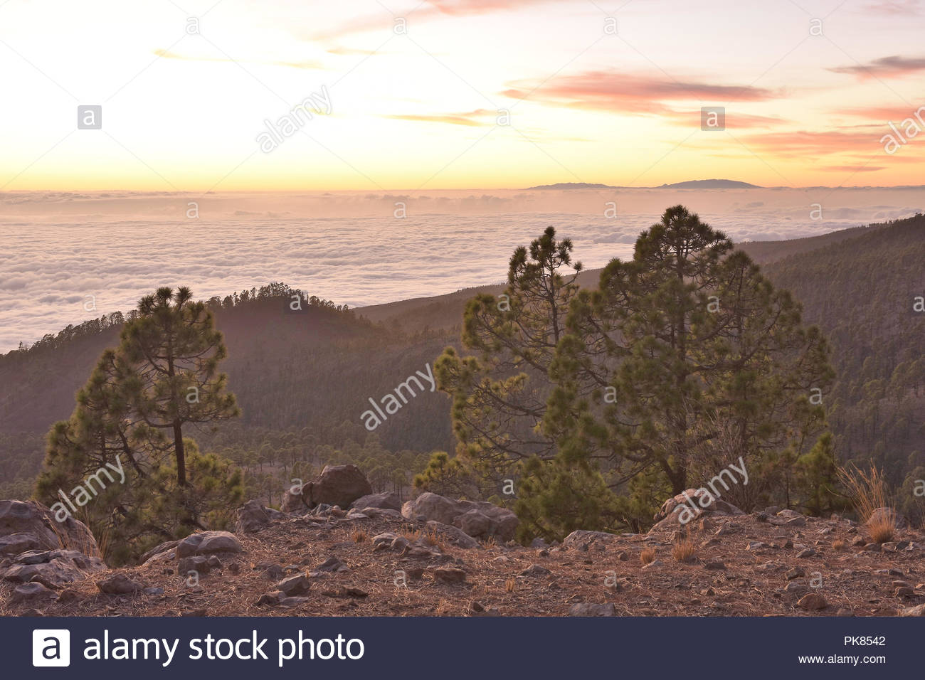 Corona Forestal Natural Park, pine trees (Pinus canariensis) grow in high altitude of Tenerife Canary Islands Spain. View above the clouds at dusk. - Stock Image