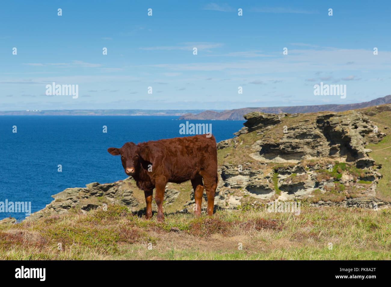 Red Ruby Devon cow cattle pedigree UK English herd - Stock Image