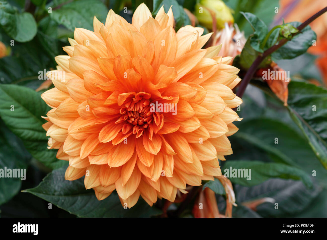 Orange Dahlia Flower Stock Photo 218386717 Alamy