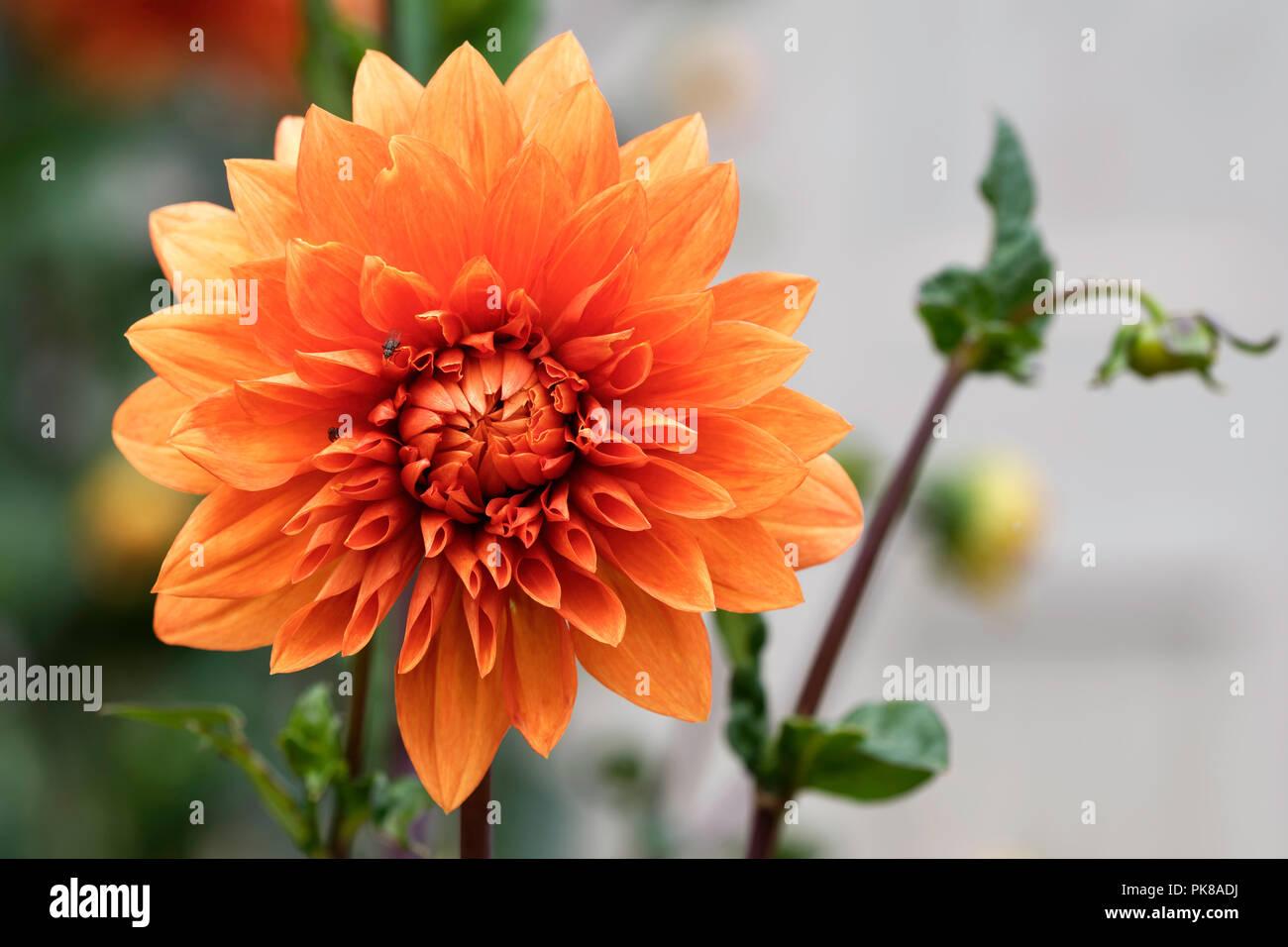 Orange Dahlia Flower Stock Photo 218386718 Alamy