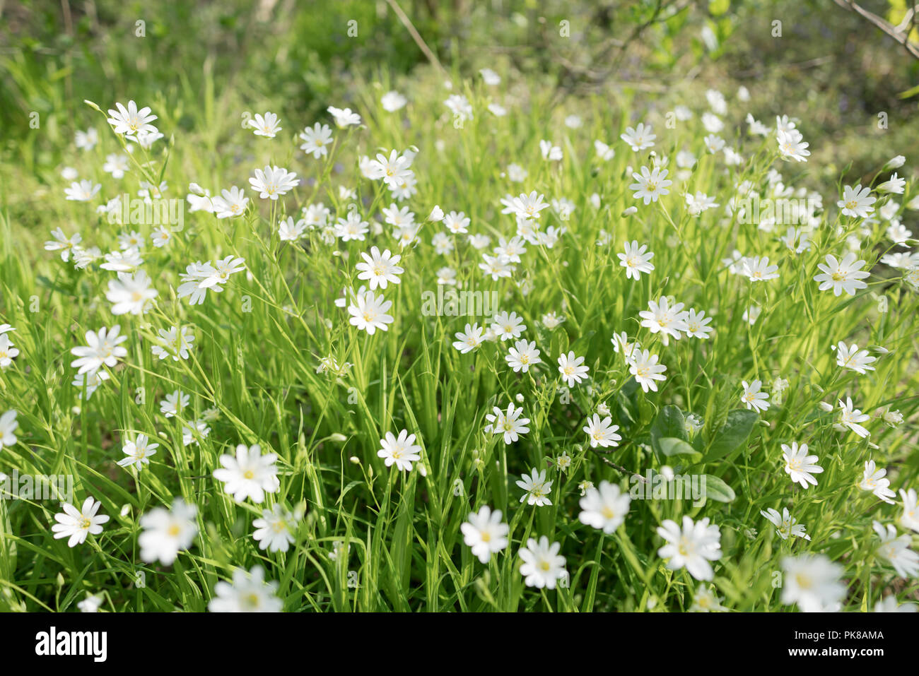 Stellaria Dichotoma Small White Flowers On Grass Stock Photo