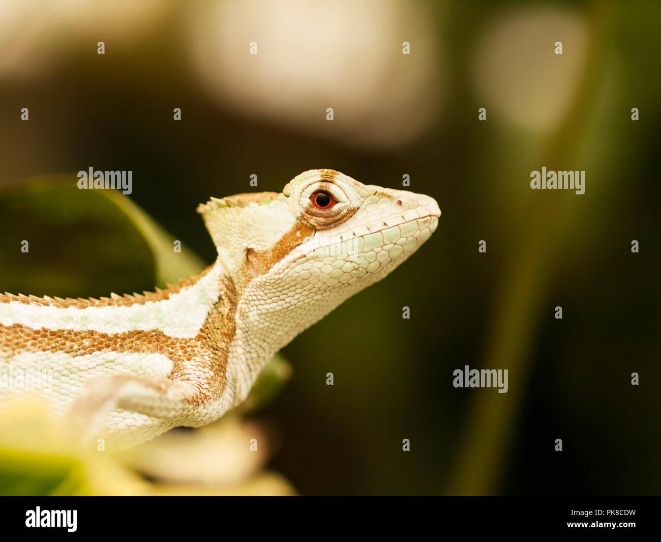 Portrait of Jesus Iguana lizard - Laemanctus serratus Stock Photo