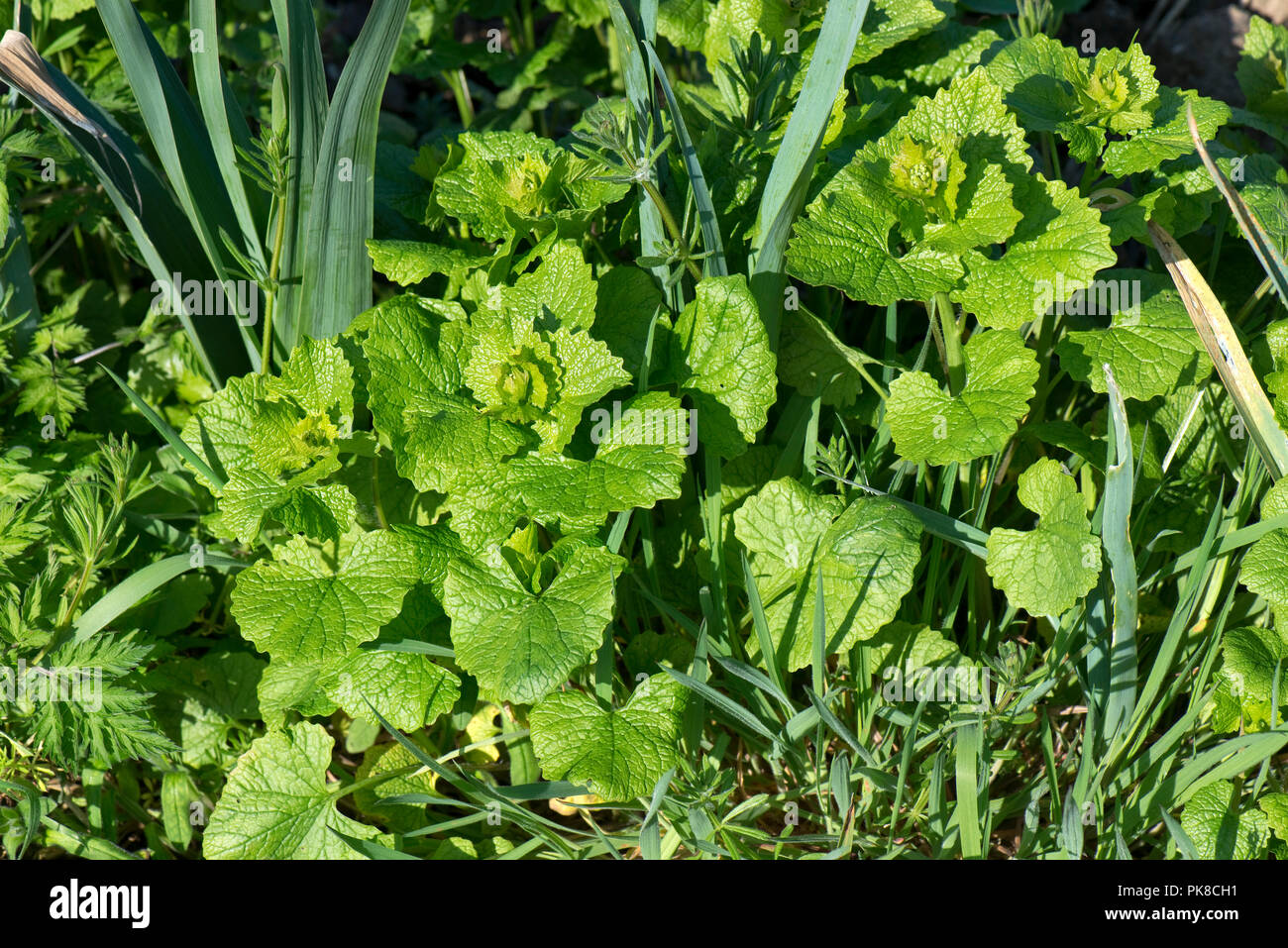 Jack-by-the-hedge, garlic mustard, Alliaria petiolata, and volunteer cereals, grasses in a young leek crop, April Stock Photo