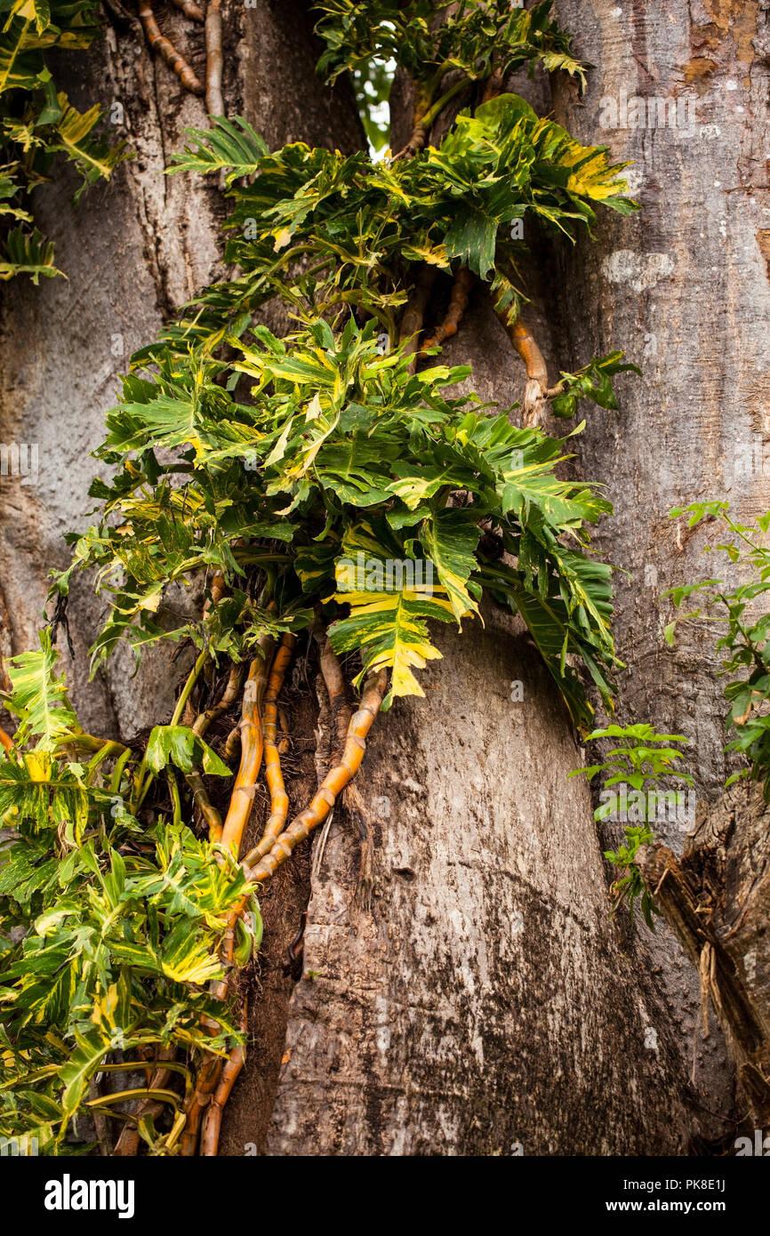 Lianas around a giant baobab stem - Stock Image
