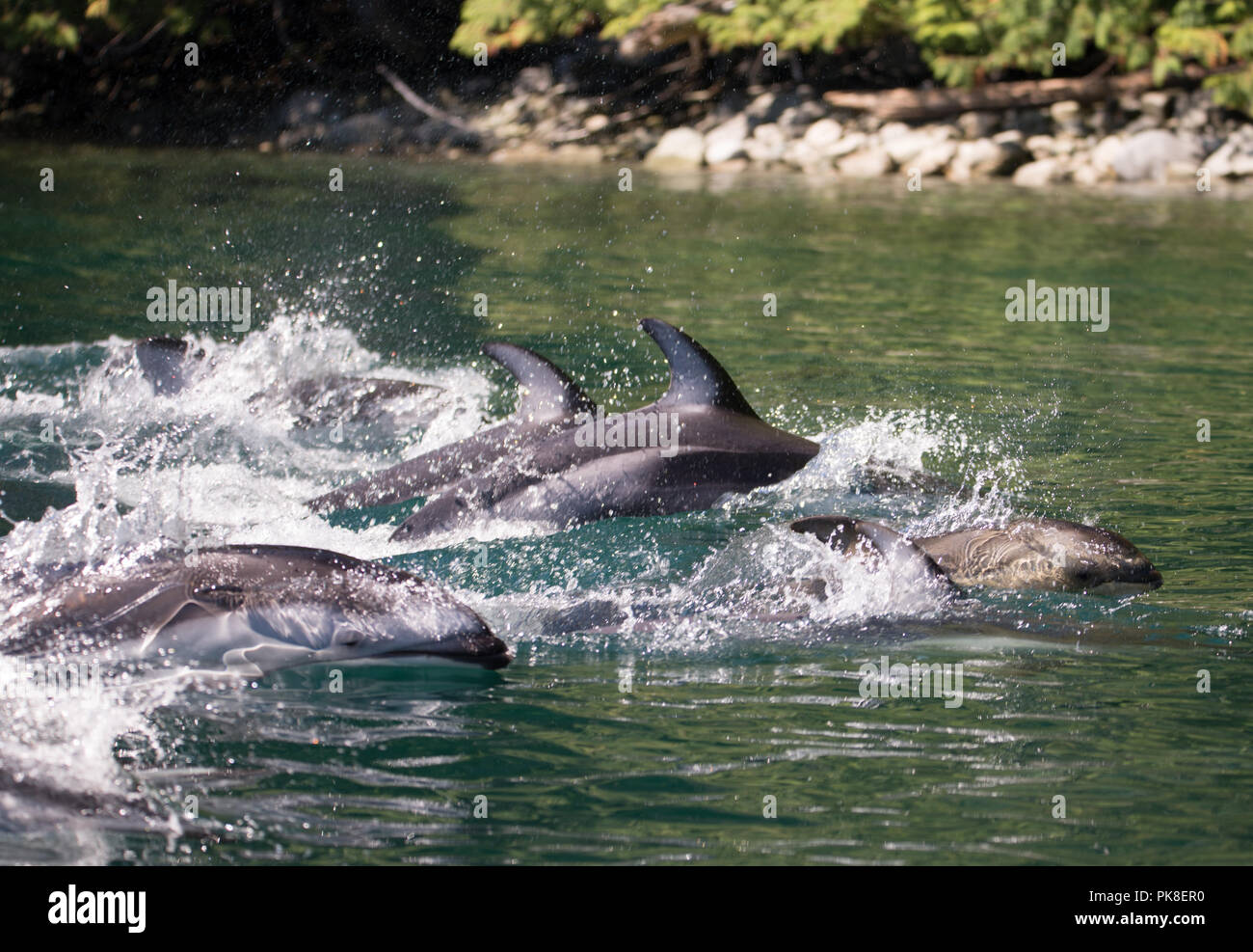 Dolphins Swimming, Campbell River Stock Photo