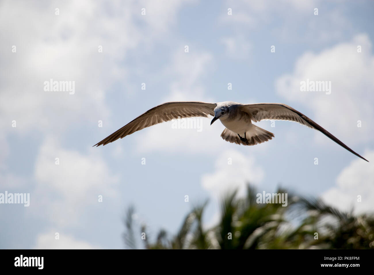 Bird flying in the air with clouds and tree tops in the background. Seagull flying in the sky. - Stock Image