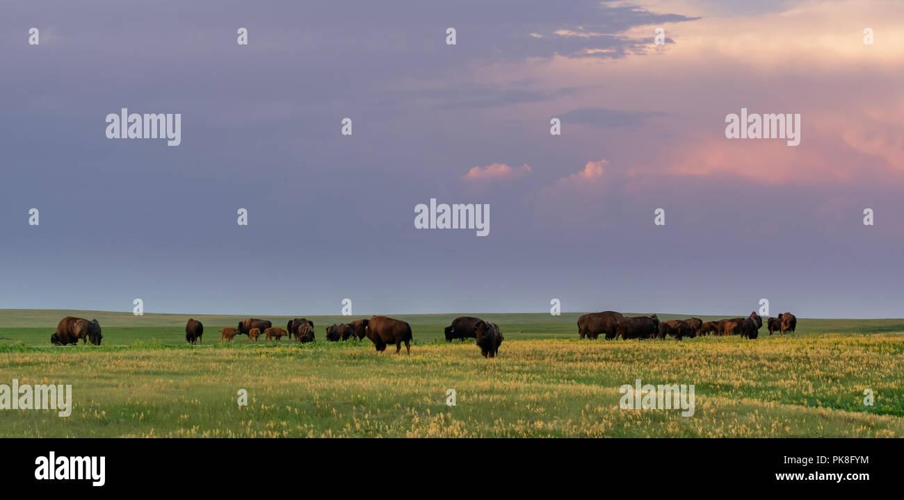 Evening Light Shines Over Herd of Grazing Bison in field - Stock Image