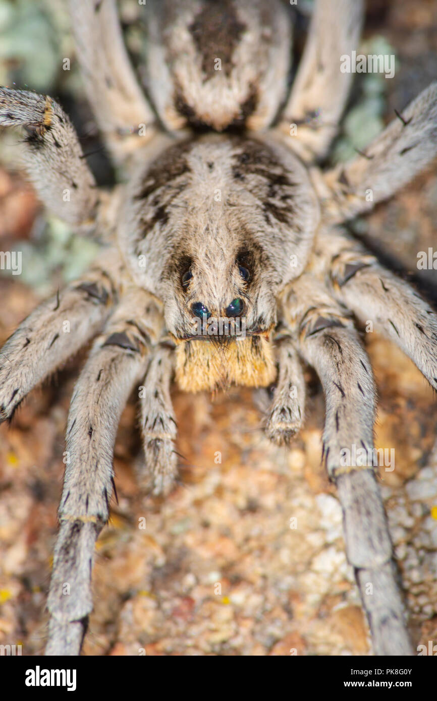 Carolina Wolf Spider (Hogna carolinensis), considered the largest wolf spider in the US of over 2000 species. Photographed in Castle Rock Colorado US. - Stock Image