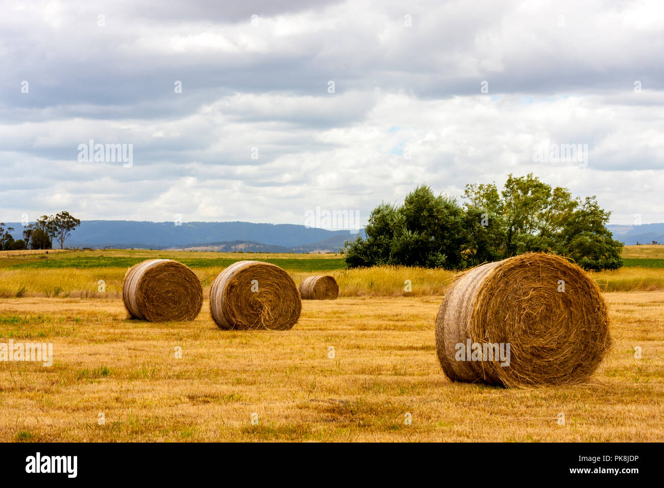 Ripe haystacks of wheat, field in the South Australia. - Stock Image