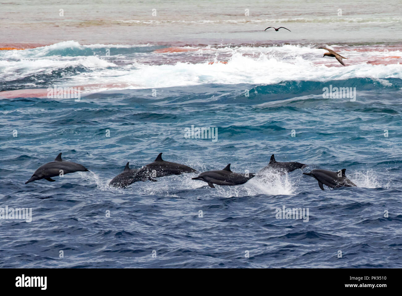 A pod of spinner dolphins leap along the reef at Millennium atoll in the southern line islands of Kiribati. - Stock Image